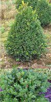 Buxus sempervirens Rotundifolia - Kegel- Schnitt