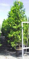 Calocedrus decurrens - incense cedar, incensecedar