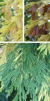 Calocedrus decurrens - Rauchzypresse, Flusszeder