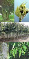 Celtis australis - Europäischer Zürgelbaum