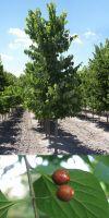 Celtis occidentalis - Amerikanischer Zürgelbaum, Westlicher Zürg