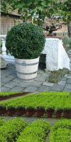 Buxus sempervirens Rotundifolia - Buchsbaumkugel