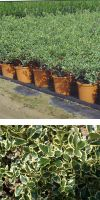 Ilex aquifolium Aureomarginata - Europäische Stechpalme