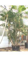 Ptychosperma macarthurii - MacArthur-Palme