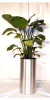 Indoor plant Strelizia nicolai