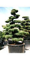 Pinus parviflora Bonsai - Japanischer Mädchenkiefer