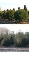 Taxus baccata - Europäische Eibe im Kugelschnitt