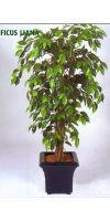 Kunstpflanze - Ficus Liana