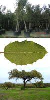 Quercus ilex - Steineiche