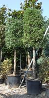 Quercus suber - Korkeiche