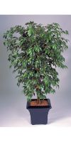 Kunstpflanze - Ficus hawaii
