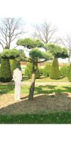 Pinus sylvestris Norske Bonsai - Bonsai Kiefer