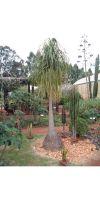 Beaucarnea longifolia - Elefantenfuß