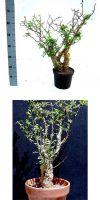Bursera fagaroides - Elephant Tree