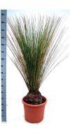 Dasylirion longissimum - Mexican Grass Tree, Mikadopflanze