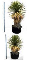 Yucca faxoniana