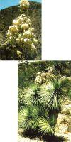 Yucca linearis (Blau-Form)