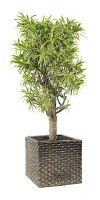 Dracaena Reflexa Song of India - Pleomele